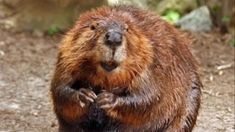 Thumbnail for entry The Beaver