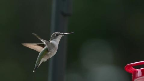 Thumbnail for entry The Hummingbird