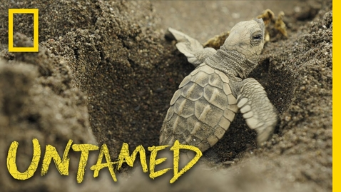 Thumbnail for entry Surviving Sea Turtles | Untamed