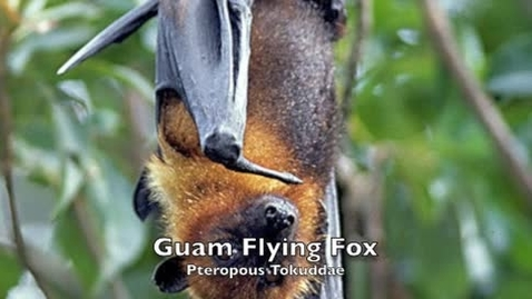 Thumbnail for entry Guam Flying Fox