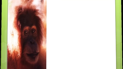 Thumbnail for entry Orangutans by Shalee, Chad, Tyler and Susan