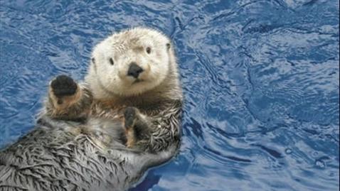 Thumbnail for entry Sea Otter Key stone Species