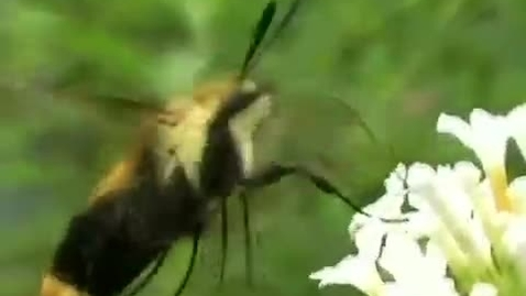 Thumbnail for entry Hummingbird Moth