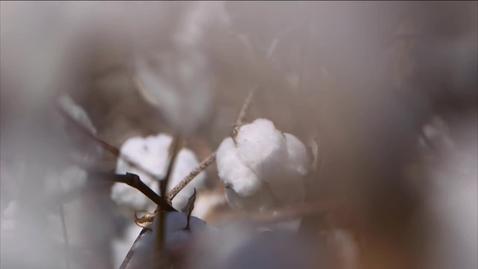 Thumbnail for entry The Cotton Economy