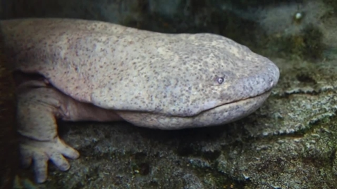 Thumbnail for entry Super Salamander Proves No Evolution