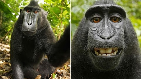 Thumbnail for entry Monkey's 'selfie' sparks copyright row
