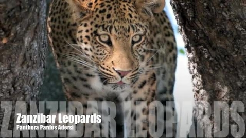 Thumbnail for entry Zanzibar Leopard- Cheyenne M.