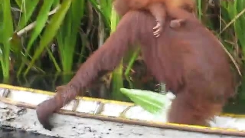 Thumbnail for entry Waters orangutan video