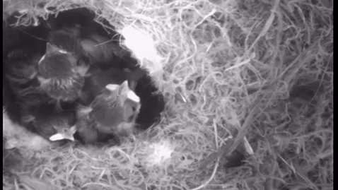 Thumbnail for entry 15th May chicks waiting for mum to feed them