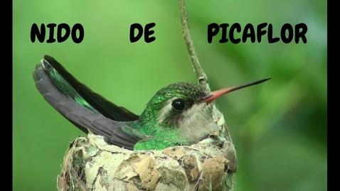 Thumbnail for entry ❤ El NIDO de PICAFLOR l Construcción y crianza de PICHONES
