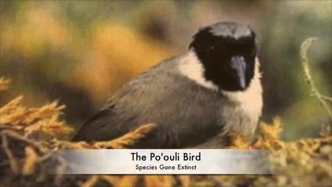 Thumbnail for entry Po'ouli Bird