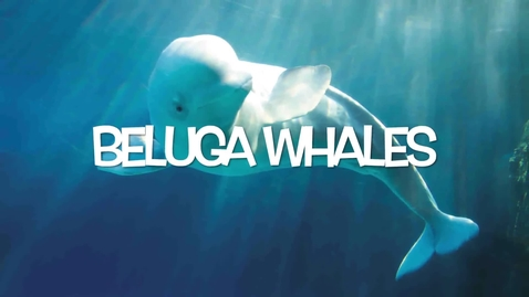 Thumbnail for entry Beluga Whales