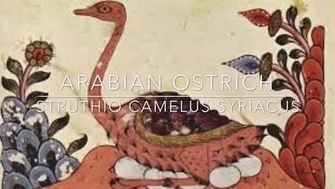 Thumbnail for entry Ethan Pd. 8 Arabian Ostrich