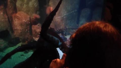 Thumbnail for entry Red Octopus - Monterey Bay Aquarium 4/4/22014