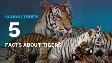 Thumbnail for entry SchoolTube's 5 Facts About Tigers