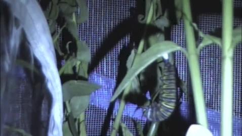 Thumbnail for entry Monarch Caterpillar to Chrysalis - Mrs. Miler