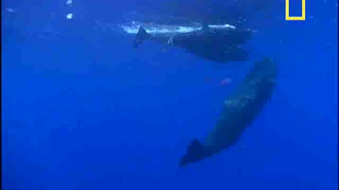 Thumbnail for entry Sperm Whale Diving