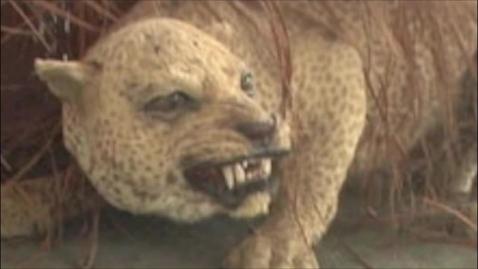 Thumbnail for entry Zanzibar Leopard Project