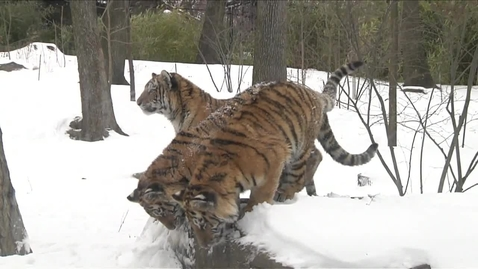 Thumbnail for entry The Bronx Zoo Tiger Cubs' First Blizzard