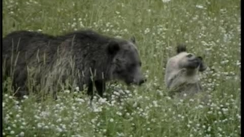 Thumbnail for entry Grizzly with cubs at lake Yellowstone