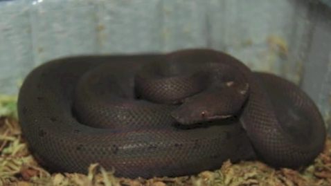 Thumbnail for entry Round Island Burrowing Boa-Taylor S