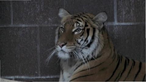 Thumbnail for entry Siberian Tiger Behaviors