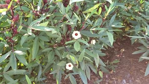 Thumbnail for entry 1/3 Harvesting Roselle
