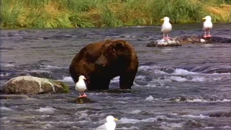 Thumbnail for entry Bear In a River