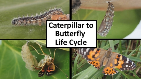 Thumbnail for entry Caterpillar to Butterfly Life Cycle