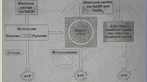 Thumbnail for entry cellular respiration overivew mr. matchell