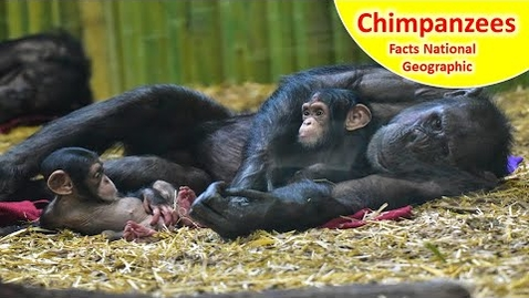 Thumbnail for entry Read Aloud : Chimpanzees - Facts and Information about Chimpanzees for Children - Chimpanzees facts
