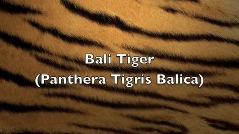 Thumbnail for entry The Bali Tiger PD7