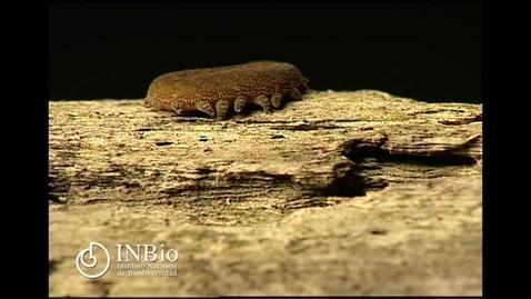 Thumbnail for entry Onichophora Peripatus