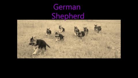 Thumbnail for entry German Shepherd