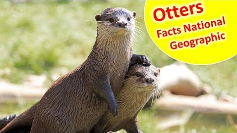 Thumbnail for entry Read Aloud : Otters - Facts and Information about Otters for Children - Otters facts for kids