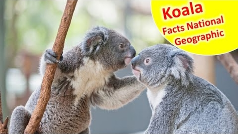 Thumbnail for entry Read Aloud : koala - Facts and Information about koala for Children - koala facts for kids