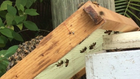 Thumbnail for entry Catching a bee swarm
