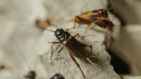 內容項目 蟋蟀鳴聲 的縮圖