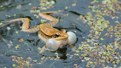 內容項目 沼蛙叫聲 的縮圖