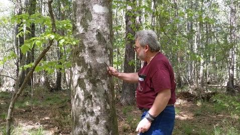 Thumbnail for entry Fagus grandifolia prank