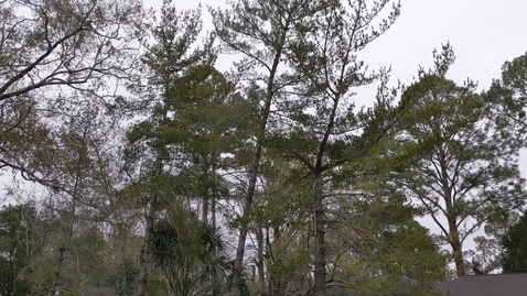 Thumbnail for entry Pinus strobus