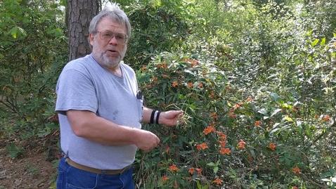 Thumbnail for entry Bignonia capriolata