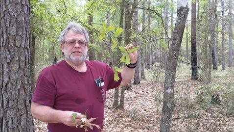 Thumbnail for entry Quercus falcata