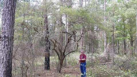 Thumbnail for entry Vaccinium arboreum