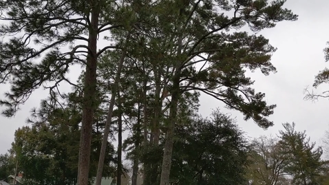 Thumbnail for entry Pinus glabra