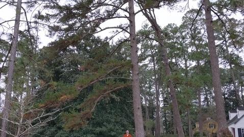 Thumbnail for entry Pinus echinata