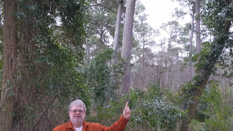 Thumbnail for entry Pinus taeda