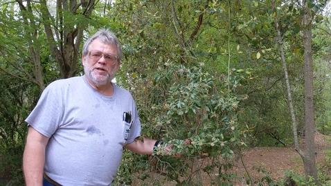 Thumbnail for entry Lyonia ferruginea