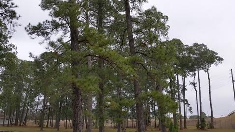 Thumbnail for entry Pinus serotina