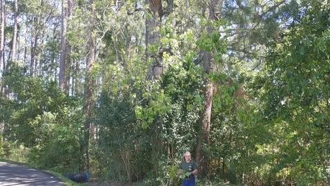 Thumbnail for entry Populus deltoides
